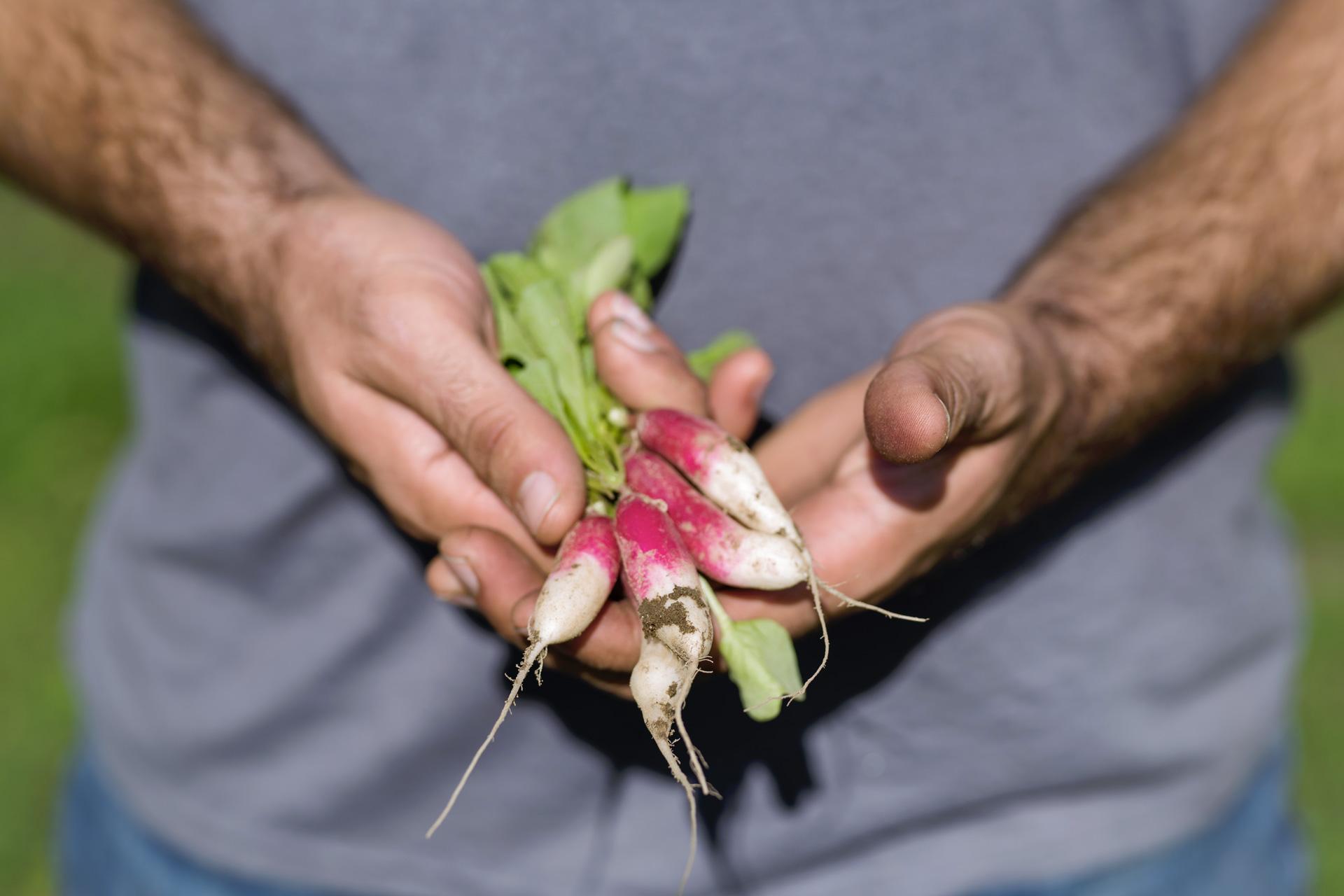 hands holding radishes