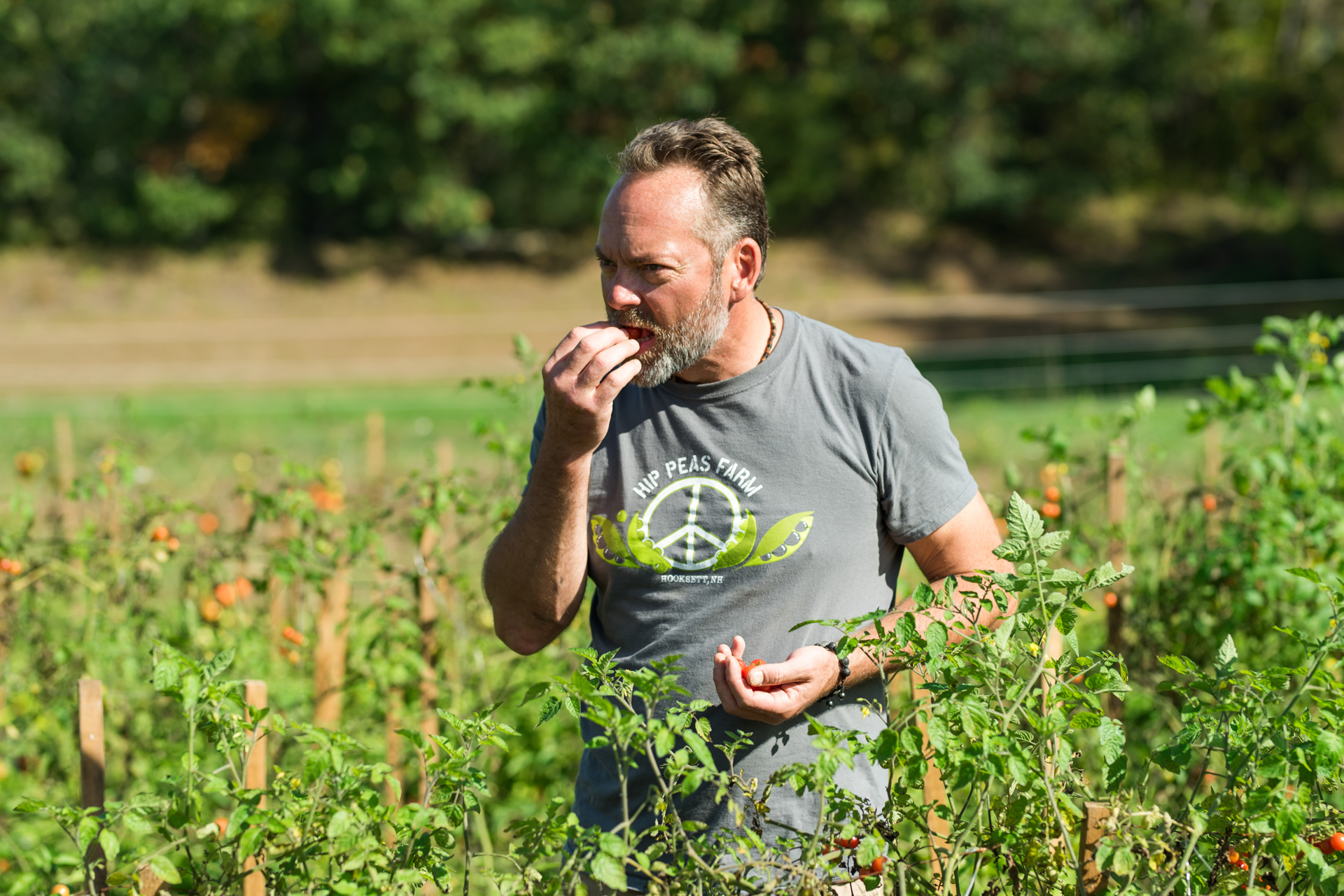 Man eating tomatoes in tomato field