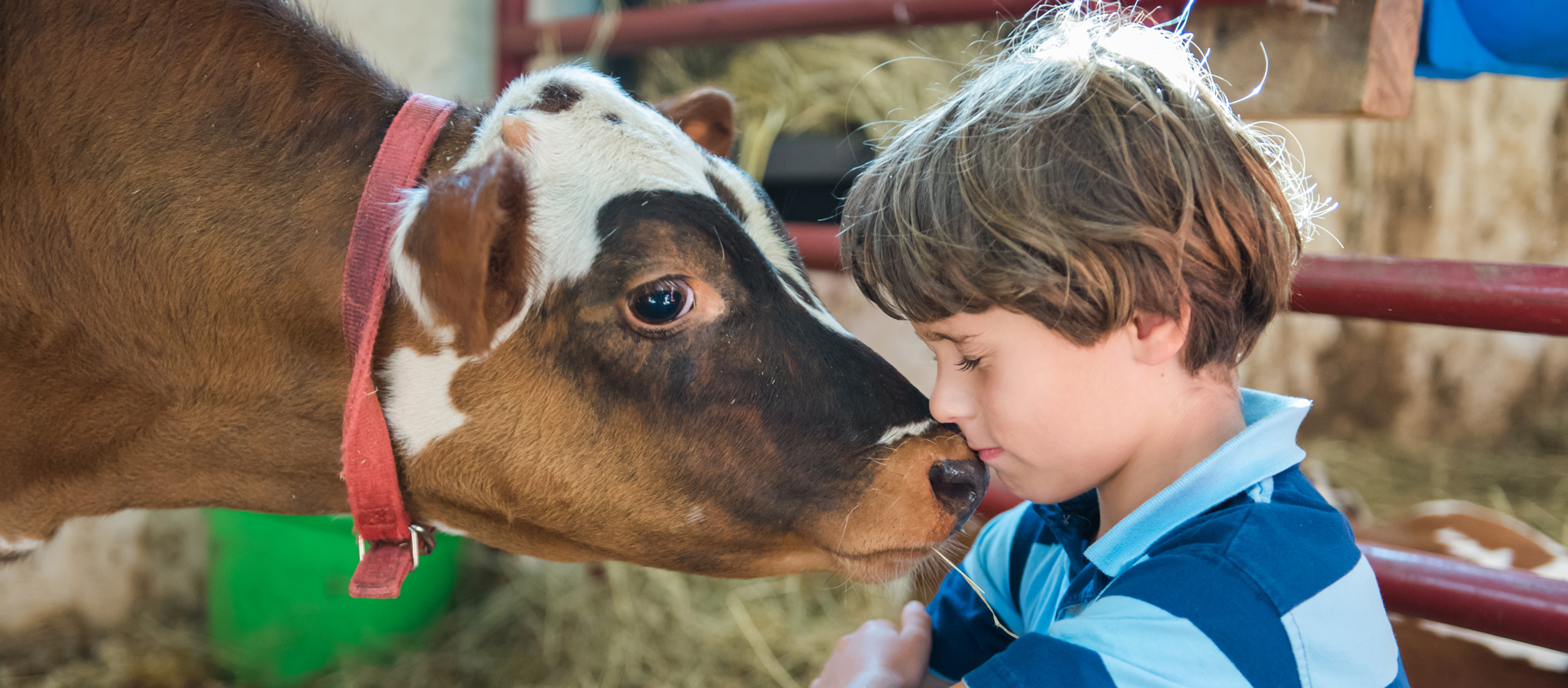 A cow lovingly nuzzles a young boy's face