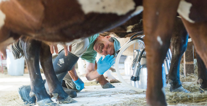 Temple-Wilton farm co-founder Lincoln Geiger waves while milking a cow
