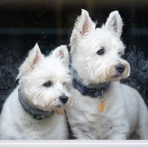 A pair of white dogs look out of a window of a home in Fox Hill Cooperative.